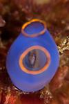 Blue sea squirt  (Clavelina caerulea) hosting an amphipoda a little crustacean