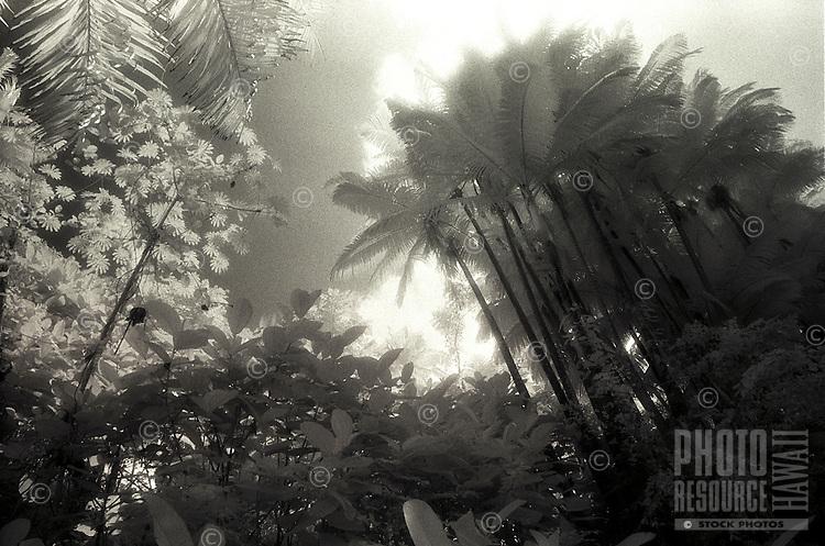 B&W Infrared palm tree scenic taken on the Big Island of Hawaii.