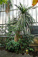 Tropical Rainforest Glasshouse (formerly Le Jardin d'Hiver or Winter Gardens), 1936, René Berger, Jardin des Plantes, Museum National d'Histoire Naturelle, Paris, France. General view of a Dracaena umbraculifera plant against the glass and metal structure of the glasshouse. It is a rare species and has not been recorded in the wild since it was first described in 1797.
