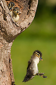 Three Wood Duck (Aix sponsa) young, one jumping from nest cavity, Minnesota, USA