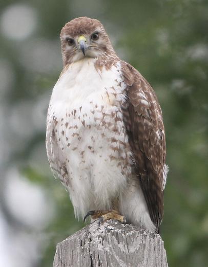 Darth Hawk!