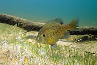 Bluegill Sunfish preparing nesting site<br />