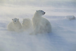 A mother Polar Bear stays close to her cubs in a blizzard.