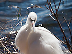 A Great Egret resting after preening on the shoreline of Lake Nokomis