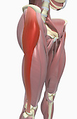 An anterolateral view (right side) of the muscles of the thighs relative to the skeleton. The tensor fasciae latae is highlighted. Royalty Free