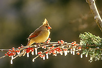 Female cardinal, Cardinal cardinalis, perching on snowy branch with holly berries,  Winter, Midwest USA