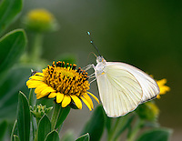 Great Southern White Butterfly on Sea Oxeye.