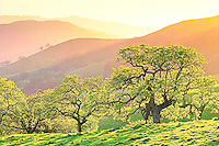 Spring trees at sunset. California Valley Oak, Quercus lobata. Deciduous tree.