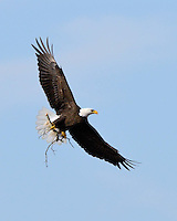 Bald Eagle brings a limb for nest rebuilding in Llano, TX