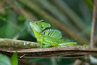Emerald Basalisk, Tortuguero, Costa Rica, Central America.