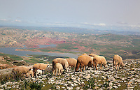 Sheep grazing on a mountain above the reservoir formed by the Sidi Chahed Dam, built 1990s, in the El Kalaa Zerhoun region in Northern Morocco, 30km from Fes and Meknes. Picture by Manuel Cohen