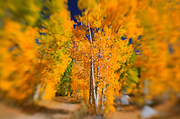 North Lake Road Aspens - Fall Color -  Lensbaby