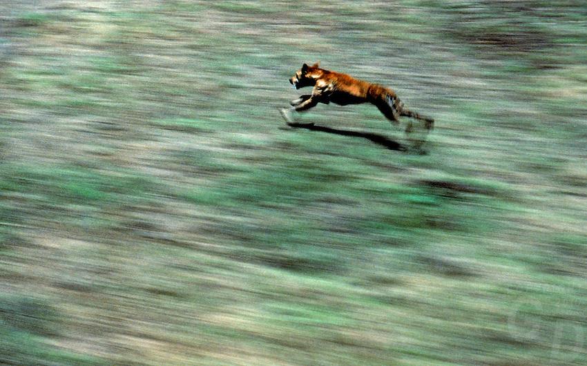 Wild Dingo and movement, Australia