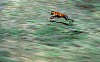 Wild Dingo and movement