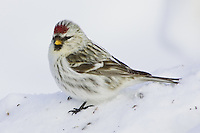 Female Common Redpoll standing on a snow bank