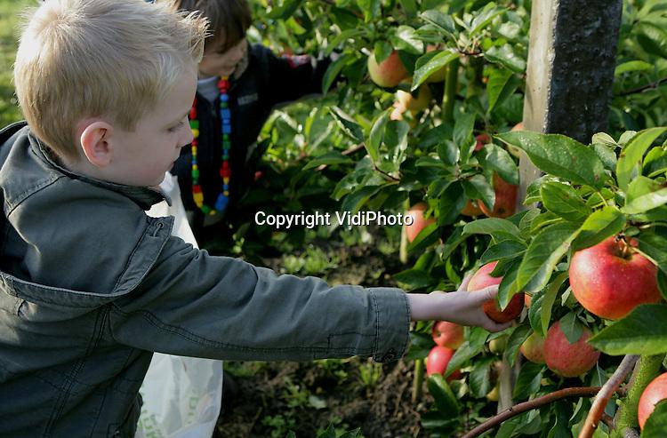 Foto: VidiPhoto..RESSEN - Basisscholen lijken de Nederlandse fruitteler te hebben ontdekt. Bij fruitteler Nico van Olst melden zich iedere week zo'n vier scholen aan voor een rondleiding. Aan het eind van de excursie mogen kinderen dan zelf ieder twee appels plukken. Nog niet eerder is er zoveel belangstelling van scholen voor de fruitteeltsector geweest, verbaast Van Olst zich. De fruitteler uit het Betuwse Ressen ziet deze hype als een prima promotie voor de sector en hoopt er in de toekomst ook klanten aan over te houden. Ook andere fruittelers constateren een toenemende belangstelling van scholen voor hun bedrijf. Mogelijke oorzaak is het feit dat de EU gratis fruit beschikbaar wil stellen aan scholen.