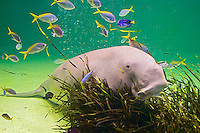 Dugong Pictures