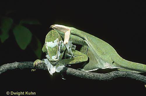CH11-005z  African Chameleon - molting skin, pulling off old skin with back leg - Chameleo senegalensis