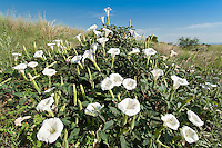 Jimson Weed (Datura stramonium) plants in full bloom