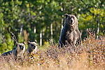 grizzly sow standing two cubs watching her in the grass shrubs