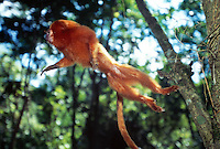 Golden Lion Tamarin (Leontopithecus rosalia)  performing a complex leap with the help of the balancing and steering tail. Its long claws ensure a safe grip for landing.