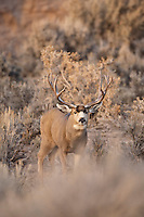 Wyoming mule deer buck during fall rut