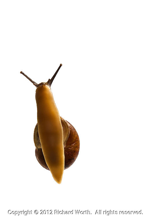 A brown garden snail and its foot, viewed through a clear surface.