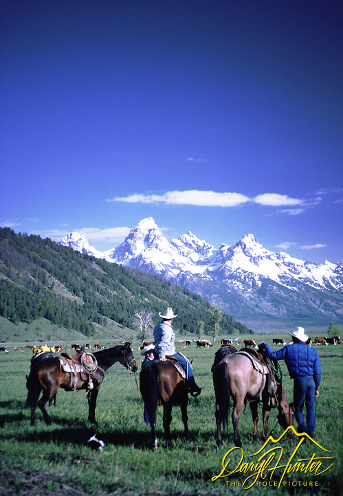 Cattle Drive, Grand Tetons, Jackson Hole, Wyoming