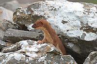 Mauswiesel, Maus-Wiesel, Kleines Wiesel, Mustela nivalis, least weasel, Zwischen Steinen in Südgriechenland, Legesteinmauer, Marder
