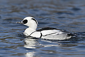 Smew - Mergus albellus - male