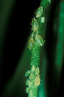 Aphids on orchid flower stalk