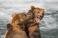 Brown bears play fighting behaviour in the Brooks River, Katmai National Park, Alaska