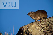 Rock Dassie ,Procavia capensis, Masai Mara Game Reserve, Kenya