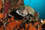 A pair of many-spotted sweetlips: Plectorhinchus chaetodonoides on a soft coral covered reef, Raja Ampat, Indonesia