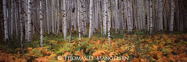 Bracken ferns carpet the ground in a grove of aspen trees on McClure Pass in Gunnison National Forest, Colorado.