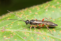 Ichneumon Wasp (Odontocolon sp.) - Male, West Harrison, Westchester County, New York