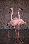 Two flamingos in small pool Coronado San Diego California USA
