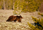 A female grizzly bear guards her cub in a grassy plain at the edge of the forest.