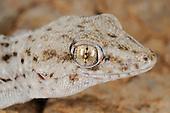Tenerife Wall Gecko head (Tarentola delalandii), endemic on the Canary Islands