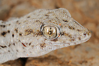 Tenerife Wall Gecko head (Tarentola delalandii), endemic on the Canary Islands