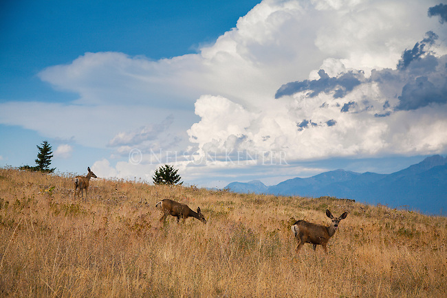 Dramatic clouds build in the background as mule deer does graze in grass in western montana