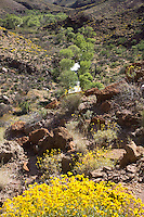 Tapeats Creek, cottonwood trees and Brittlebush bloom