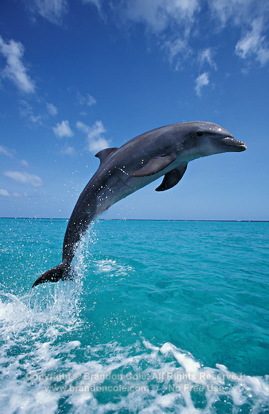 my841. Bottlenose Dolphin (Tursiops truncatus) jumping out of tropical ocean. Honduras, Caribbean Sea..Photo Copyright © Brandon Cole. All rights reserved worldwide.  www.brandoncole.com.