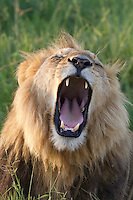 An African lion yawning, Botswana, Africa