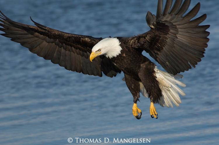 A bald eagle in flight in Homer, Alaska.