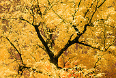 Infrared color slide film renders this fall color maple tree in a flush of yellow.