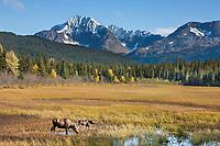 Cow and calf moose feed along the grasses near Bear lake, Chugach National Forest, Kenai Mountains, Kenai Peninsula, southcentral, Alaska.
