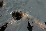 California sea lions snuggle in water