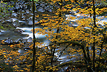 A long exposure of river rapids provides a pleasing backdrop to the soft yellows of vine maples, Sol Duc River, Olympic National Park, Washington