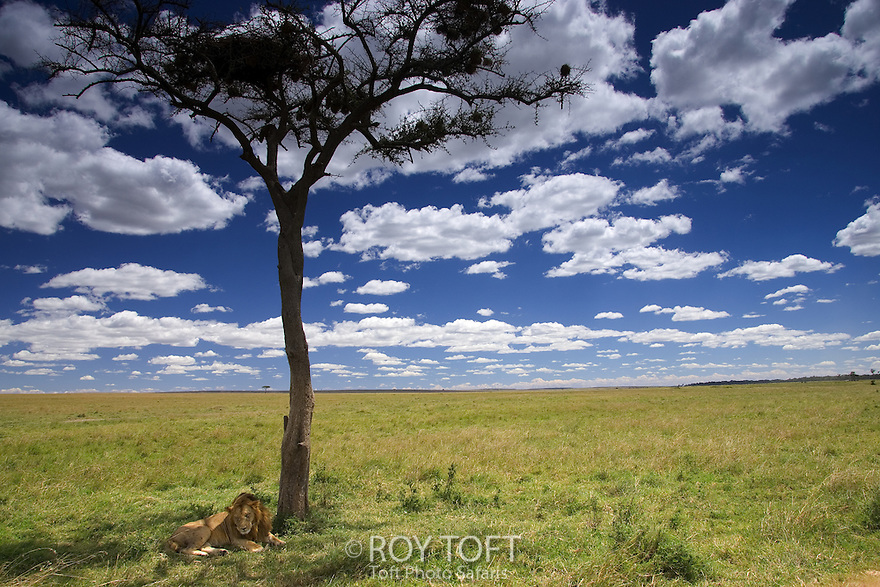 Male lion resting under Acacia tree